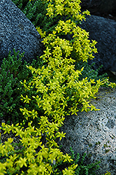 Six Row Stonecrop (Sedum sexangulare) at Plants Unlimited