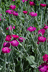 Rose Campion (Lychnis coronaria) at Plants Unlimited