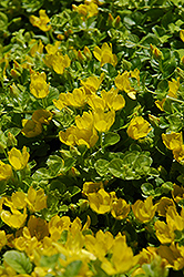 Creeping Jenny (Lysimachia nummularia) at Plants Unlimited