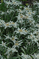 Alpine Edelweiss (Leontopodium alpinum) at Plants Unlimited