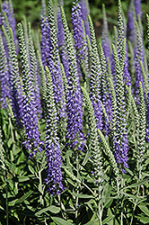 Wooly Speedwell (Veronica spicata 'var. incana') at Plants Unlimited