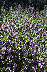 Lemon Thyme (Thymus x citriodorus) at Plants Unlimited
