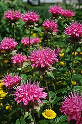 Marshall's Delight Beebalm (Monarda 'Marshall's Delight') at Plants Unlimited