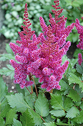 Visions Astilbe (Astilbe chinensis 'Visions') at Plants Unlimited