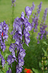 Common Monkshood (Aconitum napellus) at Plants Unlimited
