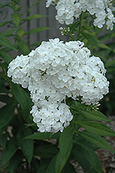 David Garden Phlox (Phlox paniculata 'David') at Plants Unlimited