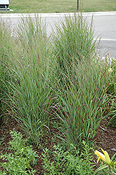 Shenandoah Reed Switch Grass (Panicum virgatum 'Shenandoah') at Plants Unlimited