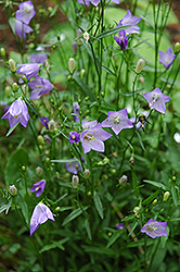 Olympica Bluebells (Campanula rotundifolia 'Olympica') at Plants Unlimited