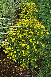 Zagreb Tickseed (Coreopsis verticillata 'Zagreb') at Plants Unlimited