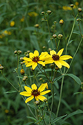 Tall Tickseed (Coreopsis tripteris) at Plants Unlimited