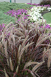 Purple Fountain Grass (Pennisetum setaceum 'Rubrum') at Plants Unlimited