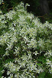 Vase Vine Clematis (Clematis paniculata) at Plants Unlimited