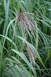 Maiden Grass (Miscanthus sinensis) at Plants Unlimited