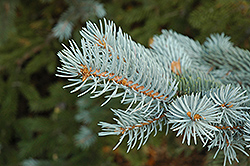 Blue Colorado Spruce (Picea pungens 'var. glauca') at Plants Unlimited