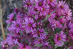 Woods Pink Aster (Aster 'Woods Pink') at Plants Unlimited