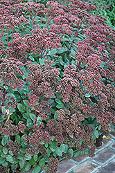 Matrona Stonecrop (Sedum 'Matrona') at Plants Unlimited