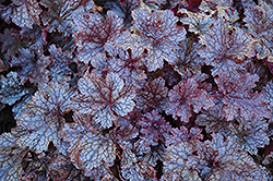 Plum Pudding Coral Bells (Heuchera 'Plum Pudding') at Plants Unlimited