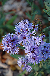 Smooth Aster (Aster laevis) at Plants Unlimited