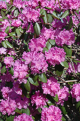 P.J.M. Rhododendron (Rhododendron 'P.J.M.') at Plants Unlimited