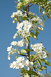 Summercrisp Pear (Pyrus 'Summercrisp') at Plants Unlimited