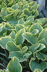 Sagae Hosta (Hosta 'Sagae') at Plants Unlimited