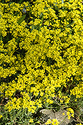 Siberian Whitlow Grass (Draba sibirica) at Plants Unlimited