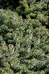Dwarf Serbian Spruce (Picea omorika 'Nana') at Plants Unlimited