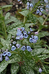 Roy Davidson Lungwort (Pulmonaria 'Roy Davidson') at Plants Unlimited