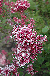 Tinkerbelle Lilac (Syringa 'Tinkerbelle') at Plants Unlimited