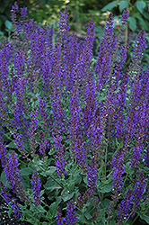 May Night Sage (Salvia x sylvestris 'May Night') at Plants Unlimited
