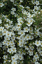 Abbottswood Potentilla (Potentilla fruticosa 'Abbottswood') at Plants Unlimited