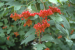 Wentworth Highbush Cranberry (Viburnum trilobum 'Wentworth') at Plants Unlimited