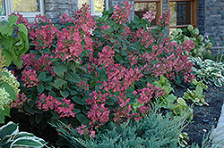 Pink Diamond Hydrangea (Hydrangea paniculata 'Pink Diamond') at Plants Unlimited