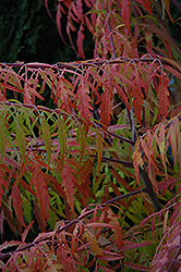Tiger Eyes® Sumac (Rhus typhina 'Bailtiger') at Plants Unlimited