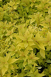 Goldmound Spirea (Spiraea japonica 'Goldmound') at Plants Unlimited