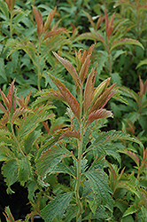Crispa Spirea (Spiraea x bumalda 'Crispa') at Plants Unlimited