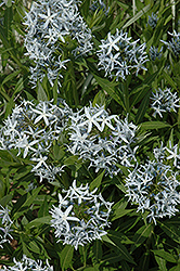 Blue Star Flower (Amsonia tabernaemontana) at Plants Unlimited
