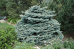 Montgomery Blue Spruce (Picea pungens 'Montgomery') at Plants Unlimited