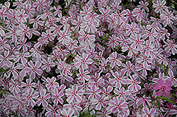 Candy Stripe Moss Phlox (Phlox subulata 'Candy Stripe') at Plants Unlimited