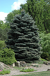 Fat Albert Blue Spruce (Picea pungens 'Fat Albert') at Plants Unlimited