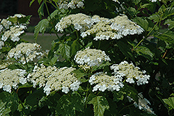 Highbush Cranberry (Viburnum trilobum) at Plants Unlimited