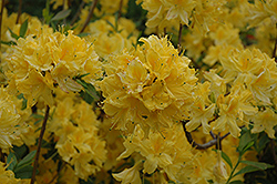 Lemon Lights Azalea (Rhododendron 'Lemon Lights') at Plants Unlimited