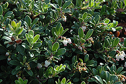 Massachusetts Bearberry (Arctostaphylos uva-ursi 'Massachusetts') at Plants Unlimited