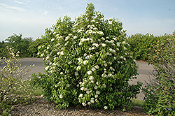 Nannyberry (Viburnum lentago) at Plants Unlimited