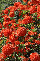 Mandarin Lights Azalea (Rhododendron 'Mandarin Lights') at Plants Unlimited