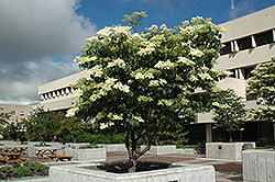 Ivory Silk Japanese Tree Lilac (Syringa reticulata 'Ivory Silk') at Plants Unlimited