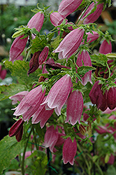 Cherry Bells Bellflower (Campanula punctata 'Cherry Bells') at Plants Unlimited