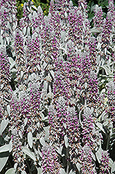 Lamb's Ears (Stachys byzantina) at Plants Unlimited