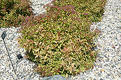 Flaming Mound Spirea (Spiraea japonica 'Flaming Mound') at Plants Unlimited