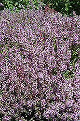 Mother-of-Thyme (Thymus praecox) at Plants Unlimited